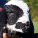 Bild zu Bauernhoftiere, Schafe