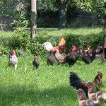 Nutzteirhaltung im Bauernhof Pechlerhof