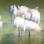 Flamingos I