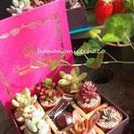 2014 バレンタイン限定 チョコレートボックス入り ミニ多肉