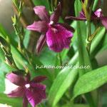 ミルトニア 江戸紫