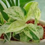 ミニ観葉植物 セラミス寄せ植え