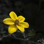 Fleur de biden