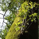 大好きな神社の木。