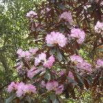 ピンク色のシャクナゲ