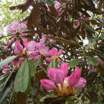 途中、シャクナゲが咲いているのが見れることも