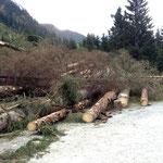 Käferholz zum Abtransport bereit
