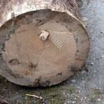 Schnittfläche von Baum mit  Käferbefall
