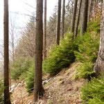 NatürliJungwaldpflege und Aufforstungche Waldverjüngung in der Haslaui