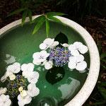 水鉢にあじさいを活ける。