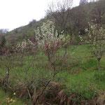 Le verger et ses abricotiers en fleurs