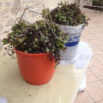 Les raisins de la tonnelle
