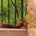 Un de nos visiteurs du matin et ramasseurs de noix