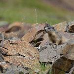 Marmota marmota (bis)