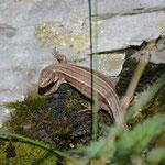 Lézard vivipare de Lantz (Zootoca vivipara louislantzi), sous-espèce ovipare endémique des Pyrénées/Monts Cantabriques/Landes de Gascogne