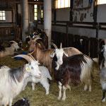 Le troupeau de chèvres pyrénéennes de Gilles et Florence Cazaban
