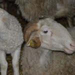 Dans une seconde ferme, avec un troupeau de brebis
