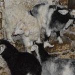 Les chevreaux sont nés au cours des 3 derniers mois