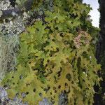 Encore un lichen, plus rare, et étrangement vert dans cet environnement en noir et blanc