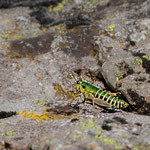 Miramelle des Pyrénées (Cophopodisma pyrenaea), endémique pyrénéenne, exclusivement en montagne à l'étage sub-alpin et alpin