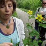 """Bernadette montre la Benoîte, plante dont la racine a un goût """"clou de girofle / réglisse"""" qui peut s'utiliser comme aromatique"""
