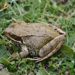 Vue en compagnie des lézards : une grenouille rousse