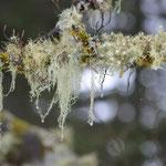 Les lichens variés