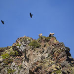 Les chocards et les vautours fauves se disputent le ciel