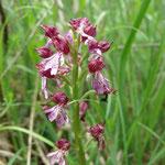 Une orchidées de la famille des Orphis