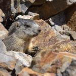 Marmota marmota, portrait