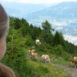Mitten durch die Kühe
