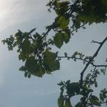 Фото весны 2012 - завязи после суровой зимы 2011-2012гг.