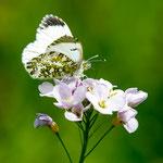 Aurorafalter-Weibchen