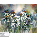 Echinacea I 2017 / Watercolour 30x40cm on Arches CP © janinaB. 2017