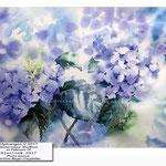 Hydrangea V 2017 (10) / Watercolour 30x40cm on Fabriano CP © janinaB. 2017