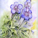 himalayense-'Johnson'-(1) / Watercolour 24x32cm  © janinaB.