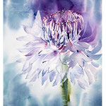 Cornflower I 2017 (O2) / Watercolour 20x30cm on Fabriano CP ©janinaB.2017
