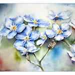 Vergissmeinnicht (O1) / Watercolour 20x31cm