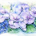 Tellerhortensie (5) / Watercolour 30x40cm  © janinaB.