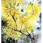 Forsythia I 2017 / Watercolour 30x40cm on Arches CP © janinaB. 2017
