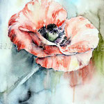 Poppy I 2011 (5)  / Watercolour 24x32cm