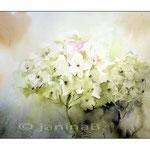 Hortensie~ / Watercolour 23x30cm