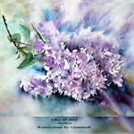 Lilac II 2018 (21) / 30x40cm Watercolour by ©janinaB.