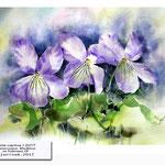 Viola canina I 2017 (21) / Watercolour 30x40cm on Fabriano CP © janinaB. 2017