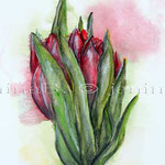 Tulpen (O2) / Watercolour 16x25cm  © janinaB.