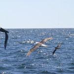 Ya empiezan las aves de altura como los Albatros.