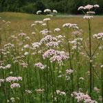 ARZNEI-BALDRIAN, Valeriana officinalis, Katzngraut, -wurzel