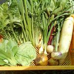 21年5月ミニチンゲンサイ、キャベツ、わさび菜、小松菜、葉玉ねぎ、玉ねぎ、カブ、大根、水菜