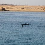 Diesmal hatten wir die Delphine bereits bei der Ausfahrt in Port Gahlib