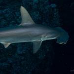 Hammerhaie bei Nacht